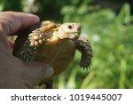 tortoise on the hands of man ... | Shutterstock . vector #1019445007