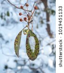 Small photo of Mountain Laurel Leaves in Winter