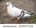White Lonely Pigeon  Close To...