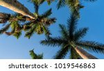 palm trees looking up   Shutterstock . vector #1019546863