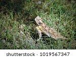 Horned Lizard  Aka Horny Toad...