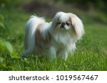rare brown japanese chin or... | Shutterstock . vector #1019567467