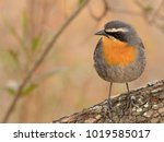 Cape Robin Chat On A Tree Stump