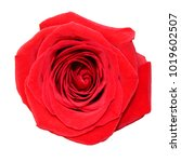 Stock photo red rose isolated on white background 1019602507