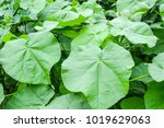 Small photo of a Abutilon Theophrastii. plant with soft leaves