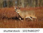 a white tailed deer standing in ... | Shutterstock . vector #1019680297