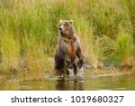 a brown or grizzly bear in the... | Shutterstock . vector #1019680327