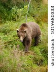 a brown or grizzly bear in the... | Shutterstock . vector #1019680333