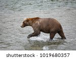 a brown or grizzly bear in the... | Shutterstock . vector #1019680357