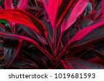 burgundy leaves of a plant in... | Shutterstock . vector #1019681593