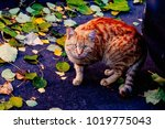 a beautiful red cat looks at...   Shutterstock . vector #1019775043