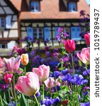 Small photo of Eguisheim, France, May, 2016: A colorful bed of tulips in the foreground is captured against a charming, quaint, typically Alsatian half-timbered house in the background.