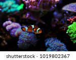 mr. clownfish   the most... | Shutterstock . vector #1019802367