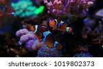 mr. clownfish   the most... | Shutterstock . vector #1019802373