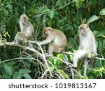 Macaque Monkeys In The Jungle...