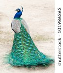 Peacock Photographed From...