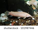 aquarium with fish. white catfish. Green theme - stock photo
