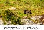 baboons at lisbon falls near... | Shutterstock . vector #1019899723