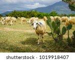 sheep on a beautiful plain... | Shutterstock . vector #1019918407