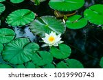 white water lily blooms in a... | Shutterstock . vector #1019990743