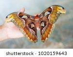 butterfly atlas moth or the... | Shutterstock . vector #1020159643