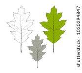 autumn leaf quercus palustris... | Shutterstock .eps vector #1020294847