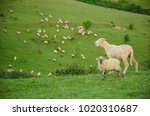 sheep and lamb in a rural... | Shutterstock . vector #1020310687