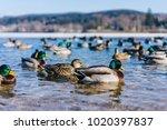 ducks swimming on winter lake....   Shutterstock . vector #1020397837