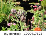 Close Up Of An Artichoke Plant...