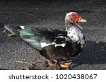 Small photo of Colorful duck with red caruncle and open beak