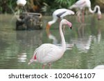 pink big bird greater flamingo  ...   Shutterstock . vector #1020461107
