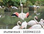 pink big bird greater flamingo  ...   Shutterstock . vector #1020461113