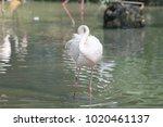 pink big bird greater flamingo  ...   Shutterstock . vector #1020461137