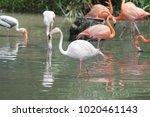 pink big bird greater flamingo  ...   Shutterstock . vector #1020461143