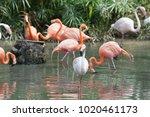 pink big bird greater flamingo  ...   Shutterstock . vector #1020461173
