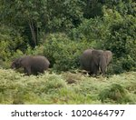 wild mother and calf elephants... | Shutterstock . vector #1020464797