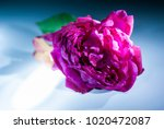 rose  symbol of love  sweet... | Shutterstock . vector #1020472087