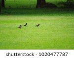 three birds on the grass field  ...   Shutterstock . vector #1020477787