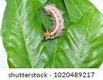 Closeup Hairy Caterpillar On...