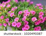 pink petunia flower | Shutterstock . vector #1020490387