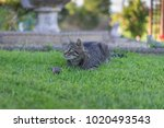 cat and dead rat on a green...   Shutterstock . vector #1020493543