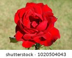 red rose with big petals | Shutterstock . vector #1020504043