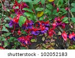 Many Fuchsia Flowers In Red An...