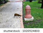 Small photo of Humpbacked hare of an agouti. Agouti has crossed a walking path.