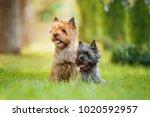 couple of cairn terriers... | Shutterstock . vector #1020592957