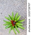 Small photo of Colorful Bromeliad (Scientific Name : Aechmea Fasciata) are growing beautifully in the nature park
