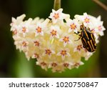 Insect On Hoya Flower.