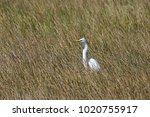 a great egret  ardea alba ...   Shutterstock . vector #1020755917