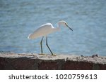 White Egret Stalking For A Pre...