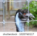 emu being curious looking... | Shutterstock . vector #1020760117